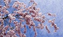 strom-rozkvetly