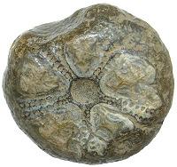 Zkamenělá ježovka z Českých Lhotic