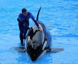 Kosatka v zábavním parku SeaWorld