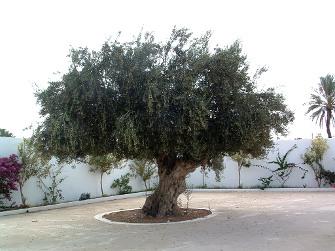 Několikasetletý olivovník